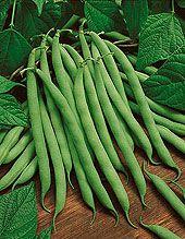 10 Tips For Growing Bush Beans | Blue Lake, Kentucky Wonder