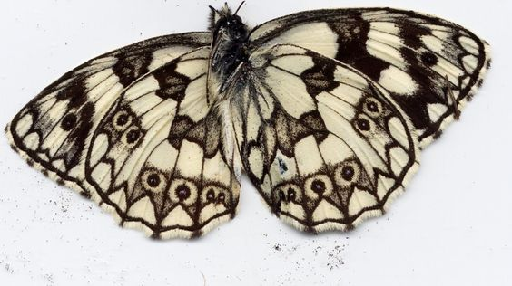 Papillon - demi-deuil melanargia galathea vue de dessous
