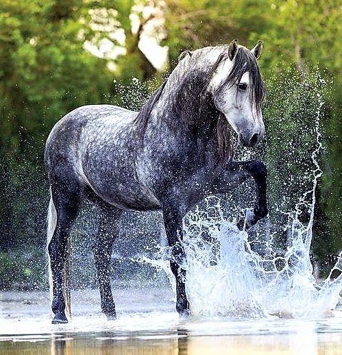 Schönes Pferd Wasser Pferde Apfelschimmel Pferde Und