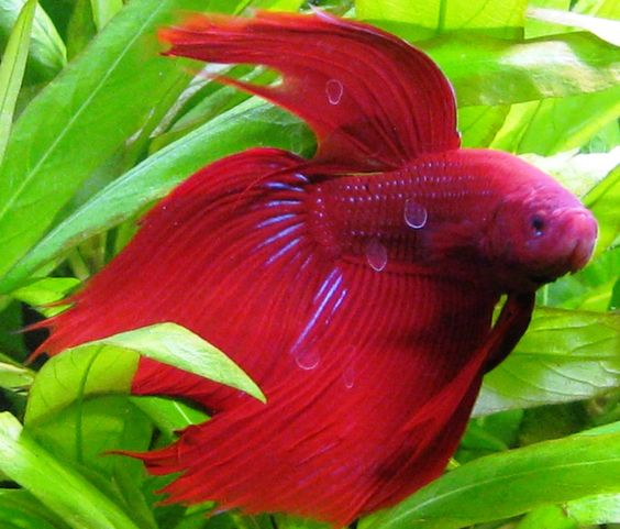Siamese fighter fish