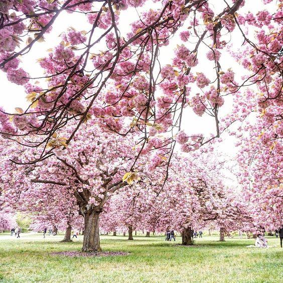 Pin By M A I K A On Printemps A Paris Cherry Blossom Cherry Blossom Tree Blossom