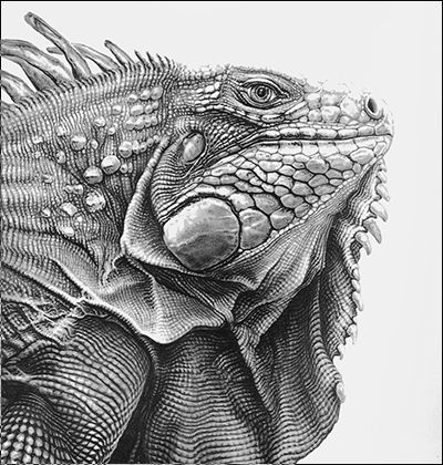 Green iguana to color d for Green iguana coloring page