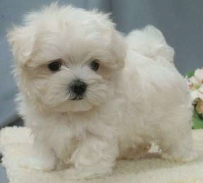 Malti-poo puppy, I want this little cutie pie!!!! How tiny is that?!?!?!?!
