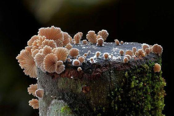 Schizophyllum