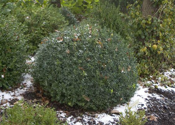 Evergreen shrubs petite sizes and shrubs on pinterest for Hardy low maintenance shrubs