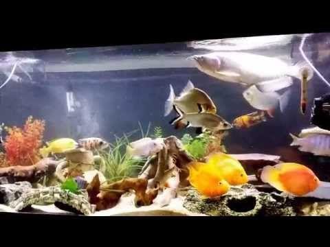 Red Parrot Fish Tank Mates Youtube Parrot Fish Fish Tank Cichlid Aquarium