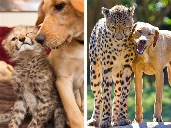 Labrador pup and cheetah cub celebrate a year of friendship
