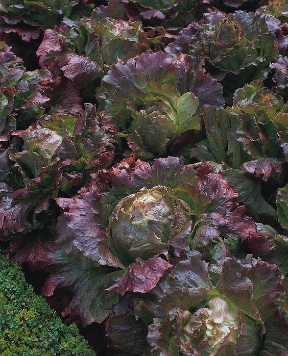 Vegetable - Lettuce - Marvel of Four Seasons - 100 Seeds - Economy