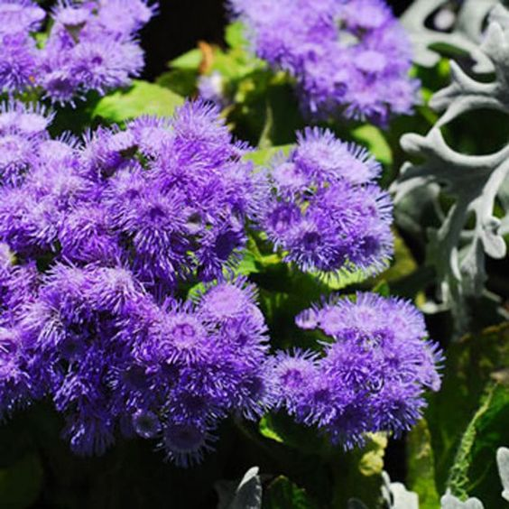 Drought tolerant plants drought tolerant and purple for Low maintenance summer flowers