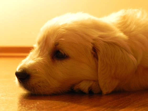 I Wish They Could Stay This Small Forever Golden Retriever