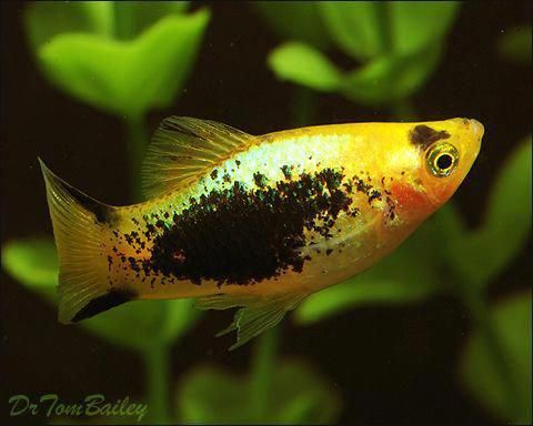 Black Platy Fish Breeding Livebearer Fishes Such As Platys Guppys Swordtails Mollys Platy Fish Aquarium Fish Fish For Sale