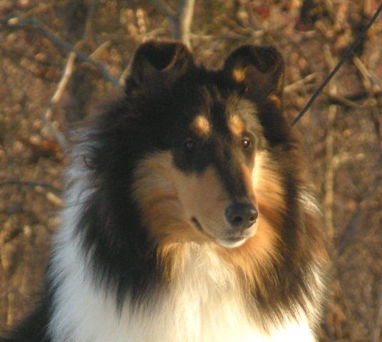 Pin By Julie Nielsen On Doggies In 2020 Rough Collie Collie Puppies Collie Breeds