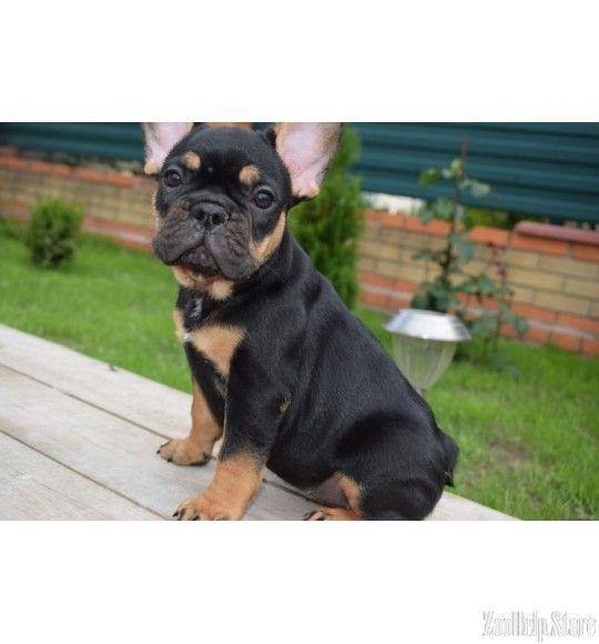 French Bulldog Francuzskij Buldog Shenki Francuzskogo Buldoga
