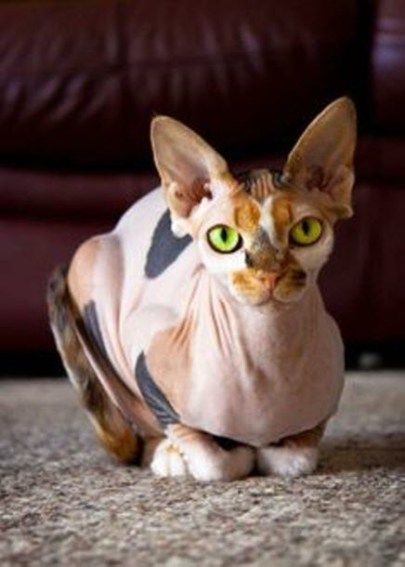 The Sphynx Cats Characteristics, History and Pictures ...