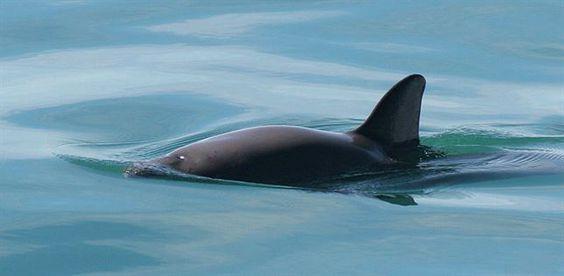 La vaquita marina es uno de los cetáceos más pequeños del mundo, ya que sólo llegan a medir un metro y medio y no superan los 50 kilos de peso. Además, se caracterizan por el color gris oscuro de su piel en la parte superior de su cuerpo, mientras que la zona inferior es mucho más clara.  Fuente: http://www.ecoticias.com/naturaleza/101132/queda-solo-97-ejemplares-de-vaquita-marina-en-el-planeta
