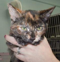 Cricket is an adoptable Tortoiseshell Cat in Brainerd, MN