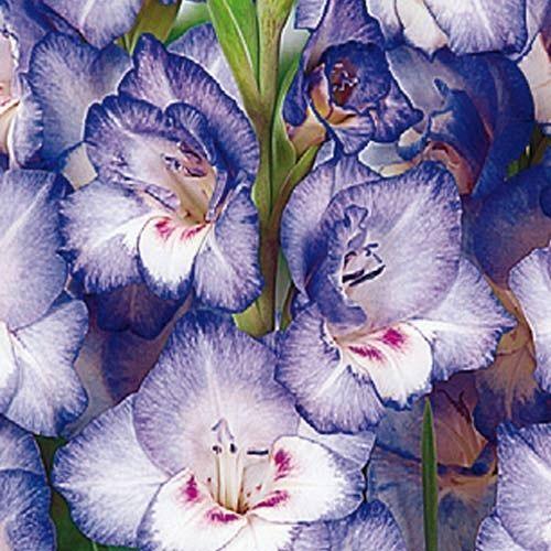 Gladiolus 'Like Glamini®'