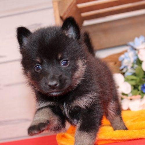 Miki A Beautiful Pomsky Puppy From Nappanee In For Sale Cute Dogs And Puppies Miki Dog Puppies