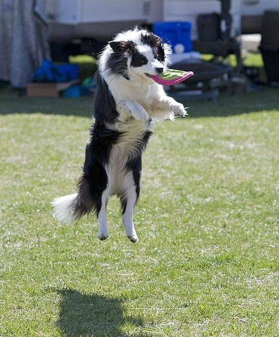 The Border Collie is a herding dog. This active dog is noted for its speed and agility. The Border Collie runs 20 to 30 miles an hour while twisting a...