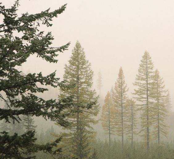 Yellow Tamarack Trees in the Mist by Lucy Snowe