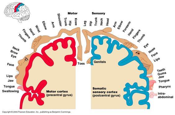 Motor Homunculus   Sensory Homunculus