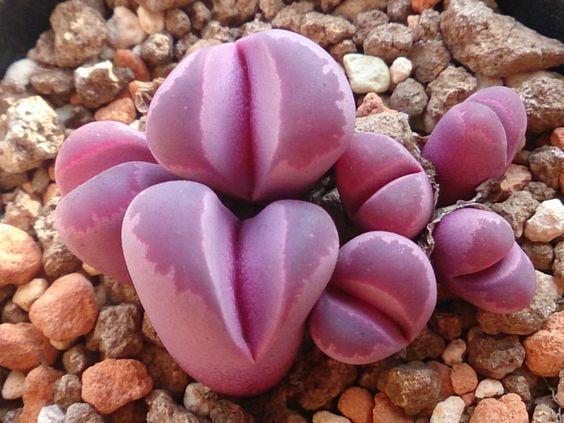 Lithos cole field number vendita online piante grasse e succulente rare da collezione di ogni genere e specie.