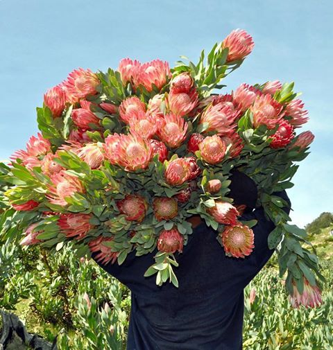 Resendiz Brothers Protea Growers Flower Field Choose Joy I Choose Life
