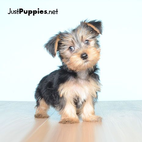 Puppies For Sale Orlando Fl Current Inventory Puppies For Sale Yorkshire Terrier Puppies