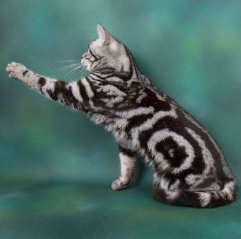 Swirled Tabby   produces the classic tabby pattern. The ...