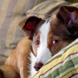Douleur chez le chien Bb6958ee8ad1451c2d009421573354eb