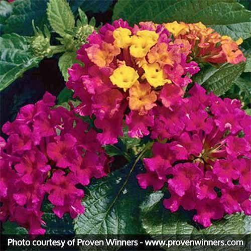 Best Full Sun Flowering Perennials For Zones 7 11 Lantana Plant Plants Flower Garden