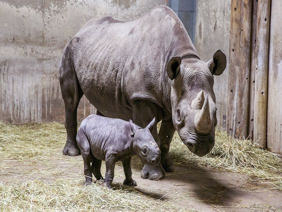 Awesome Clicks Rhinoceros and Baby