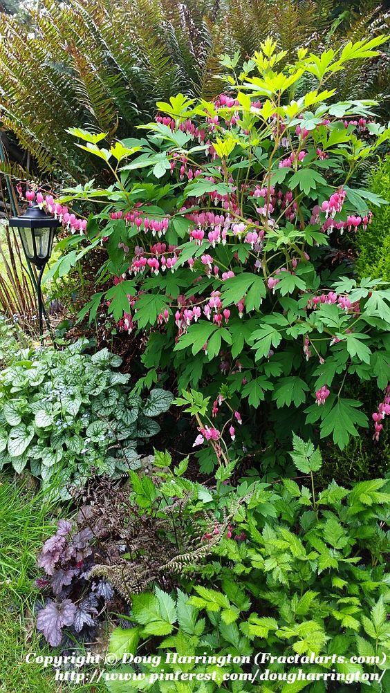 Spring 2016 shade plants in one of my borders. Ferns, bleeding hearts, brunnera (Jack Frost), heuchera (obsidian) & astilbe