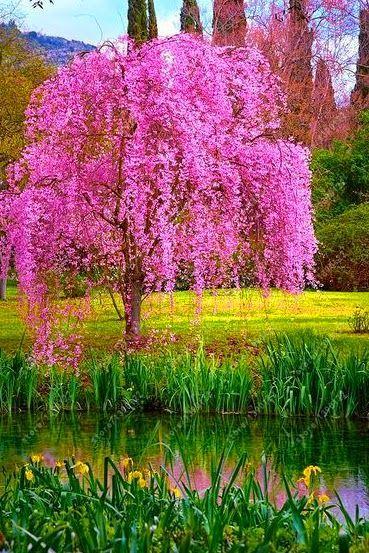 Sakura Tree Seeds Weeping Sakura Tree 10pcs Pack Weeping Cherry Tree Landscaping Trees Garden Trees