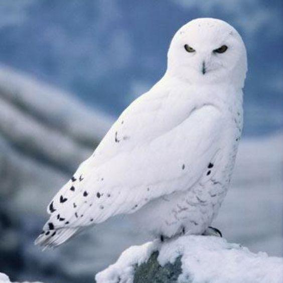 Snowy owl~ Beautiful.