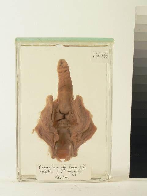 Wet specimen - Koala - tongue and larynx | National Museum of ...