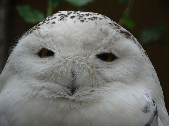 Owl-SV