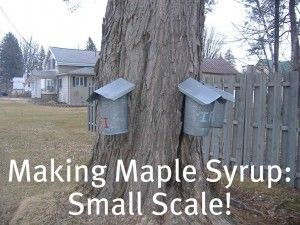 How we make maple syrup every year-w just 1 maple tree!