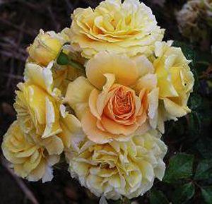 Les Rosiers Belmontais - Spécialiste du rosier - Mireille Dumas ® panmask (La Star De Doué)