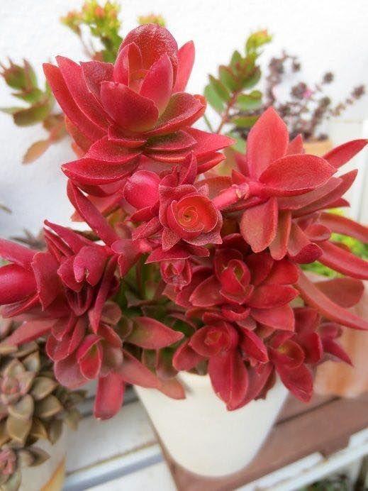 Crassula Capitella Suculentas Pinterest Beautiful And Photos