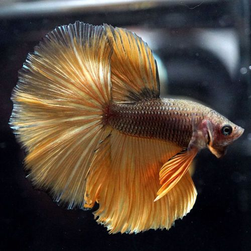 Type Of Betta Fish If You Are Like Me And Have A Strong Passion For Freshwater Aquariums You Have Probably Considered Incor Betta Fish Types Betta Fish Betta
