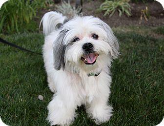 Shih Tzu/Westie, West Highland White Terrier Mix (Westie