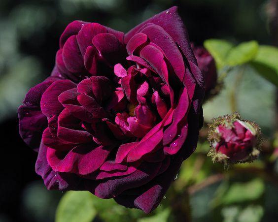 "Moss Rose ""Nuits de Young"""