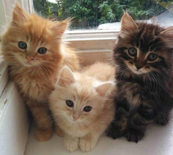 Norwegian Forest Kittens London Gumtree Baby Cats Norwegian Forest Kittens Kittens Cutest