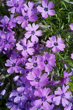 Creeping Phlox - purple best in full sun and well-drained soils