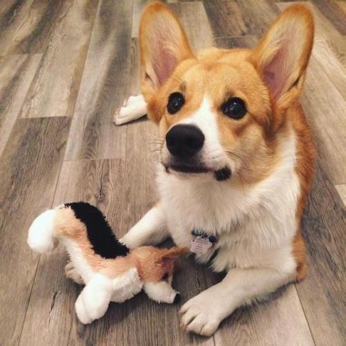 My Corgi Has His Own Corgi Corgi Corgi Dog Cardigan Welsh Corgi Puppies