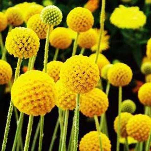 Billy Buttons Golf Beauty Billy Buttons Annual Flowers Flower Seeds