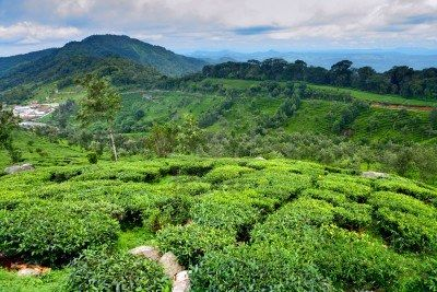 scenic view of tea fields in Munnar...