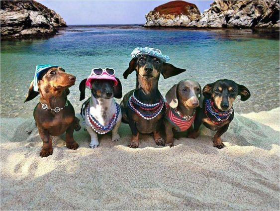 """Are these guys cute or what!! Here's a little-bit of what ya call.. """"Dachshund Fun In The Sun!"""" lol It's Vacation Time!"""