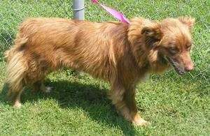 41352 is an adoptable Australian Shepherd Dog in Ironton, OH. Available for a limited time from the Lawrence County Dog Pound, 1302 Adams Lane Ironton, OH 45638. Please call the dog warden at 740-533-...